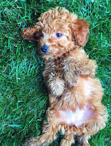 Minnie the Goldendoodle  Pictures 1046874