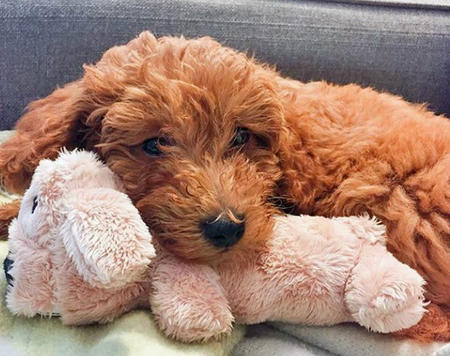 Minnie the Goldendoodle  Pictures 1046875