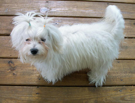 Mischi the Maltese Mix Pictures 999226