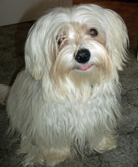 Mischi the Maltese Mix Pictures 999228