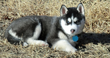 Mishka the Siberian Husky Pictures 887068