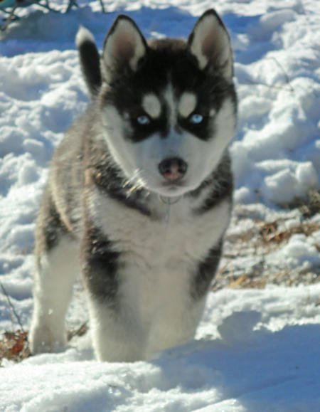 Mishka the Siberian Husky Pictures 887069