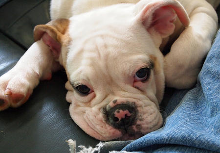 Miss Puddin the Bulldog Pictures 903521