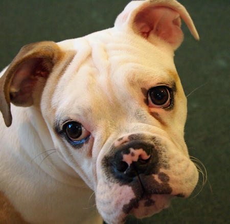Miss Puddin the Bulldog Pictures 903517