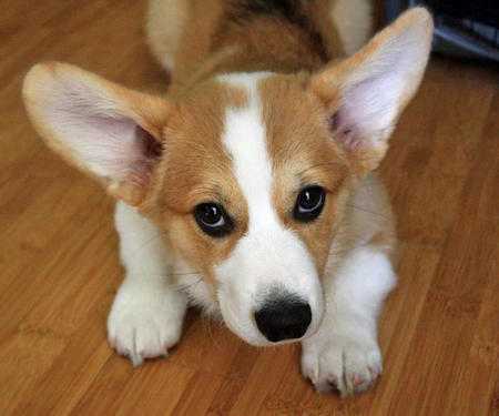 Mister Chester the Corgi Pictures 950771