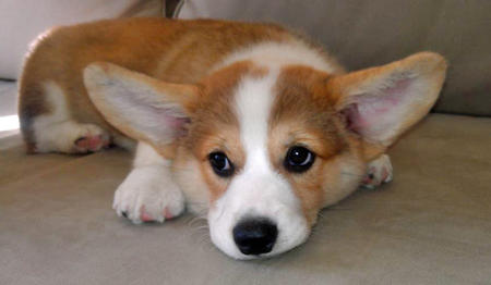 Mister Chester the Corgi Pictures 950772