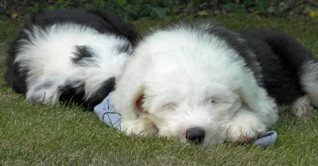 Misty and Gem the Old English Sheepdogs Pictures 628592