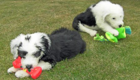 Misty and Gem the Old English Sheepdogs Pictures 628593