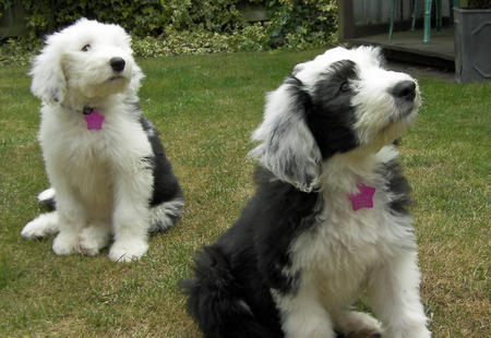Misty and Gem the Old English Sheepdogs Pictures 628594