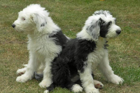 Misty and Gem the Old English Sheepdogs Pictures 628595