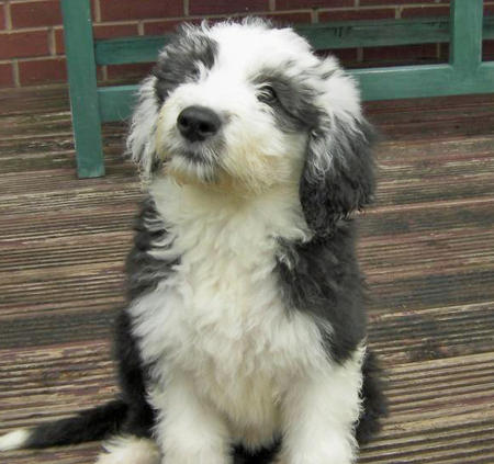 Misty and Gem the Old English Sheepdogs Pictures 628597