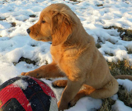 Misty Rose the Golden Retriever Pictures 877813