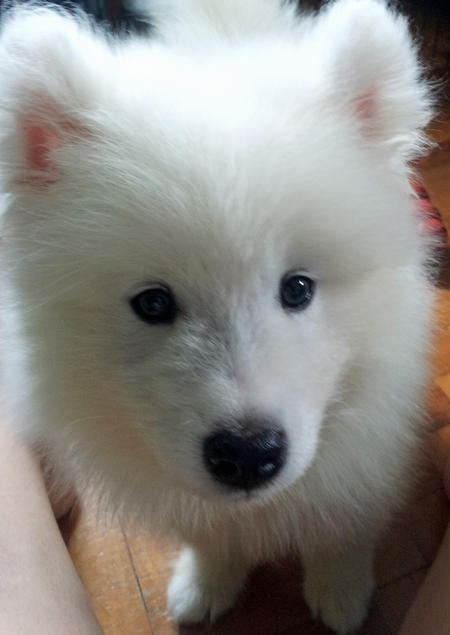 Mochi the Samoyed Pictures 1009146