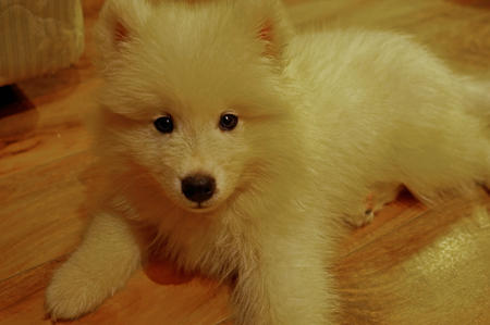 Mochi the Samoyed Pictures 1009150