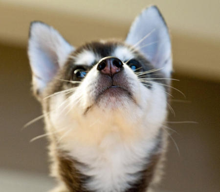 Mogwai the Alaskan Klee Kai Pictures 746276