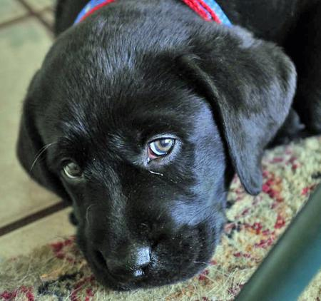 Moki The Labrador Retriever Puppies Daily Puppy