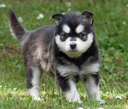 Moko the Alaskan Klee Kai Pictures 993860
