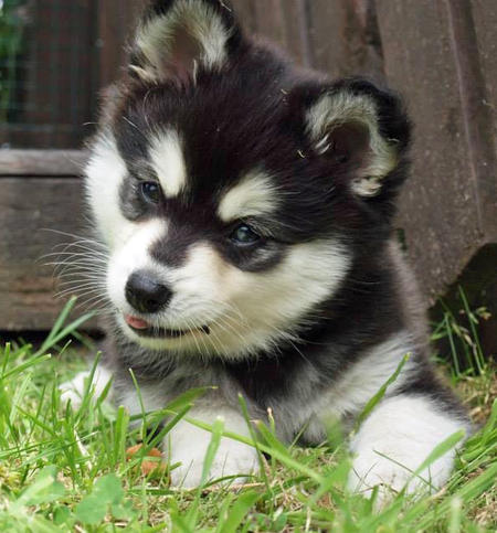 Moko the Alaskan Klee Kai Pictures 993861