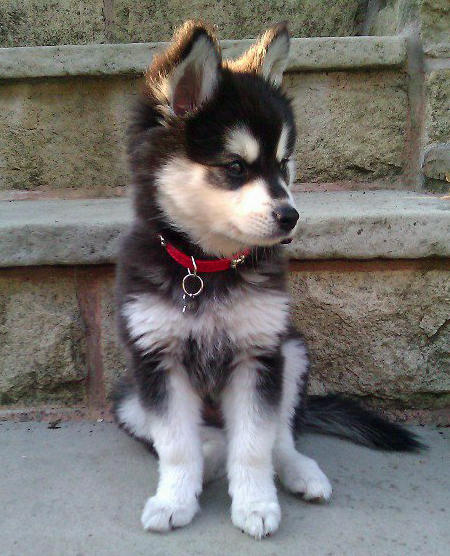 Moko the Alaskan Klee Kai Pictures 993862