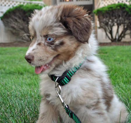 Mollie the Australian Shepherd Pictures 653497