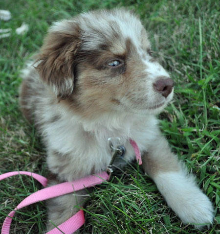 Mollie the Australian Shepherd Pictures 653500