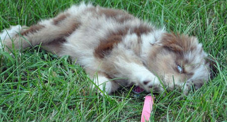 Mollie the Australian Shepherd Pictures 653502