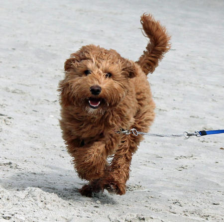 Mollie the Goldendoodle Pictures 1015243