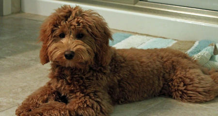 Mollie the Goldendoodle Pictures 1015244