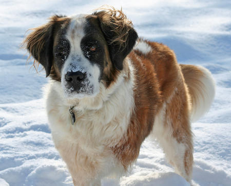 Mollie the Saint Bernard Pictures 971796