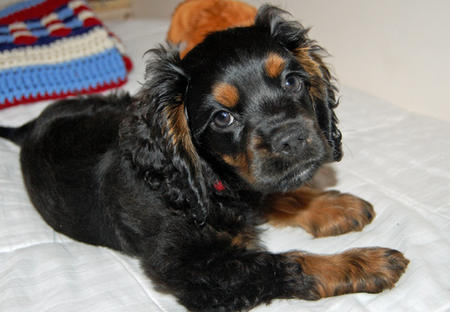 Molly the Cocker Spaniel  Pictures 622018