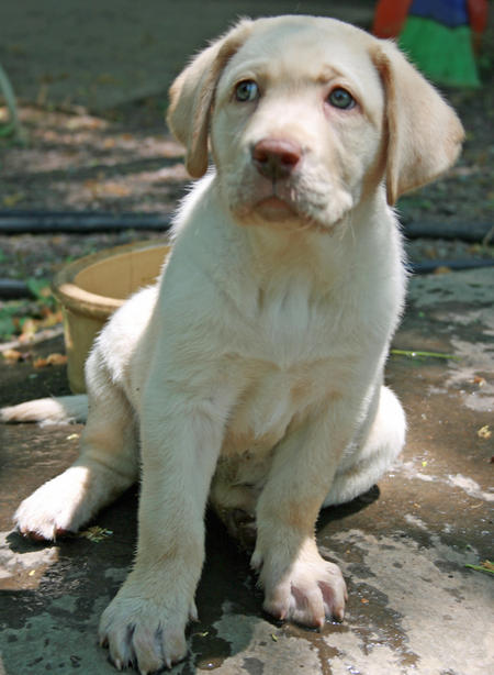 Molly the Labrador Retriever Pictures 911793