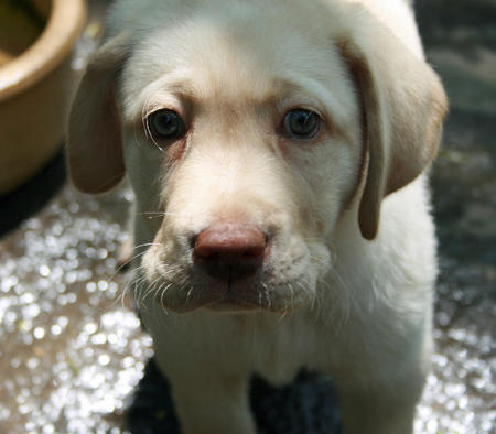 Molly the Labrador Retriever Pictures 911795