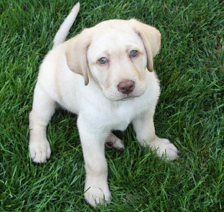 Molly the Labrador Retriever Pictures 911796