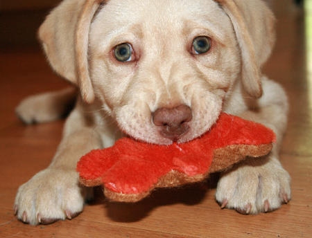 Molly the Labrador Retriever Pictures 911797