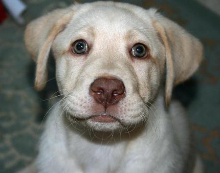 Molly the Labrador Retriever Pictures 911798