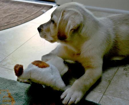 Molly the Labrador Retriever Pictures 911791