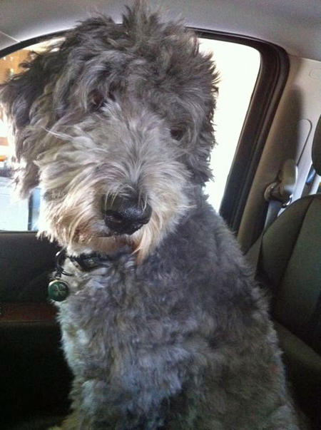 Molly the Old English Sheepdog Mix Pictures 902053