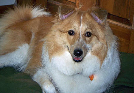 Pomeranian Sheltie Mix Molly the sheltie mix pictures