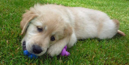 Molson the Golden Retriever Pictures 430618