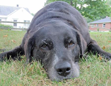 Mona the Labrador Retriever Pictures 853769