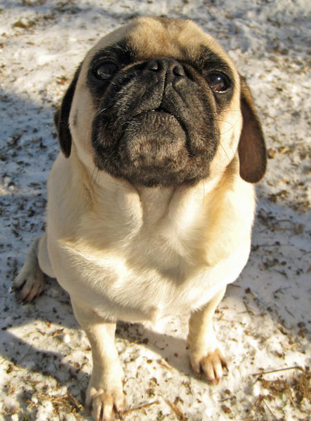 Monster the Pug Pictures 730644