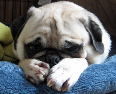 Monster the Pug Pictures 730645