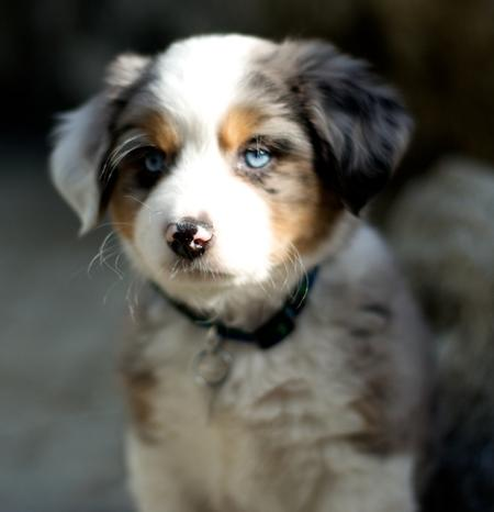 Monty the Australian Shepherd  Pictures 556652