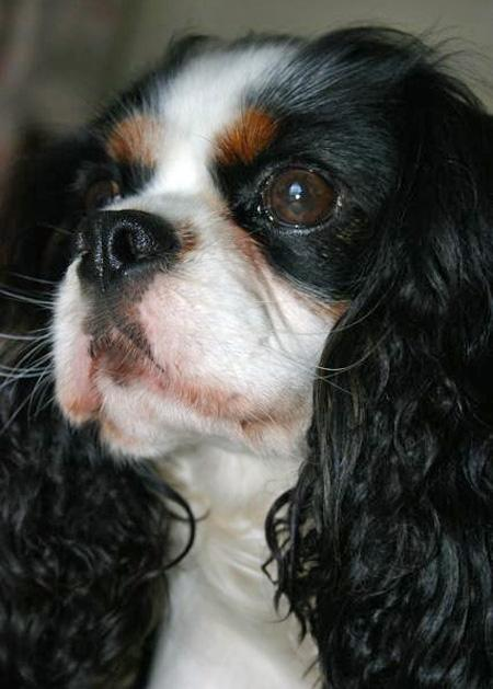 Monty the Cavalier King Charles Spaniel Pictures 573574