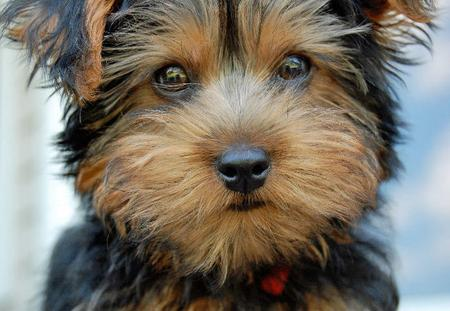 Monty the Yorkshire Terrier Pictures 653026