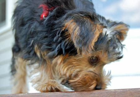Monty the Yorkshire Terrier Pictures 653027