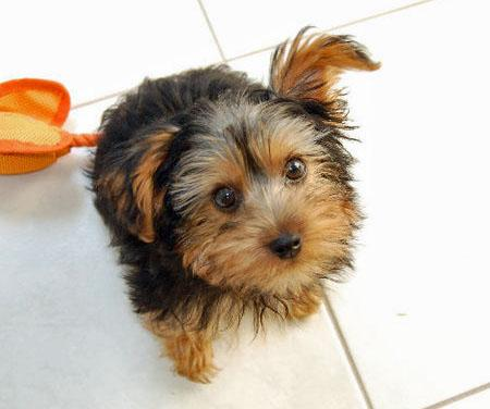 Monty the Yorkshire Terrier Pictures 653029