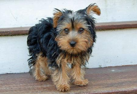 Monty the Yorkshire Terrier Pictures 653030