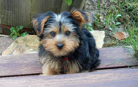 Monty the Yorkshire Terrier Pictures 653031