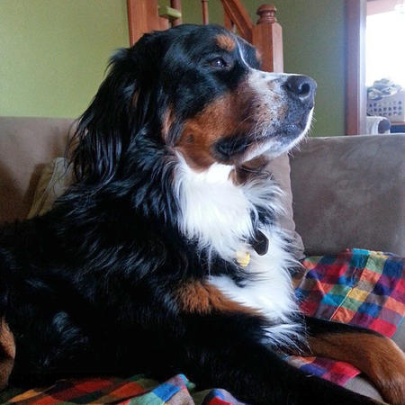 Moose the Bernese Mountain Dog Pictures 1000723